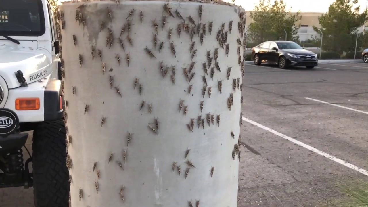 Grasshopper swarms invade Las Vegas 5