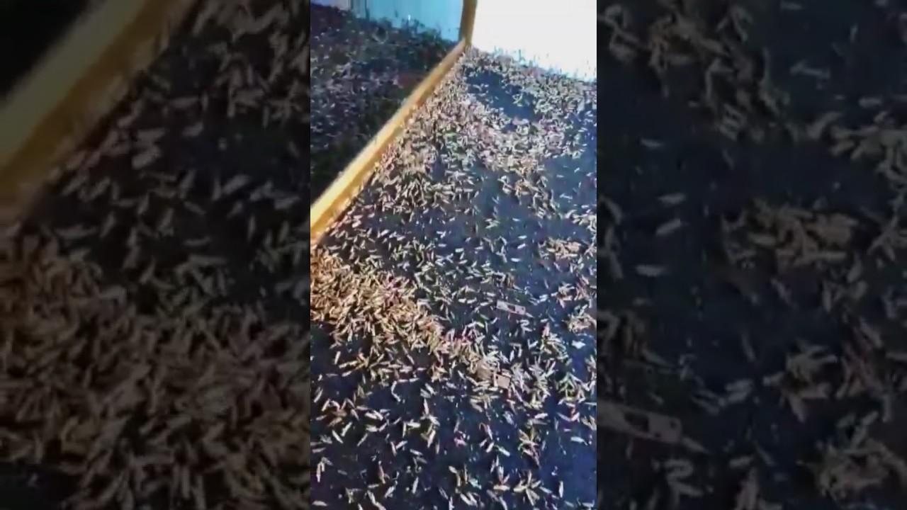 Plaga Millones de Saltamontes Invaden Las Vegas / Grasshoppers Invade Las Vegas 5